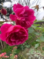 Close up of bright pink roses